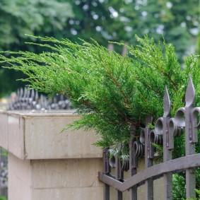 Колючие ветки можжевельника на металлическом заборе