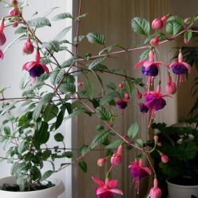 Цветение фуксий на подоконнике квартиры