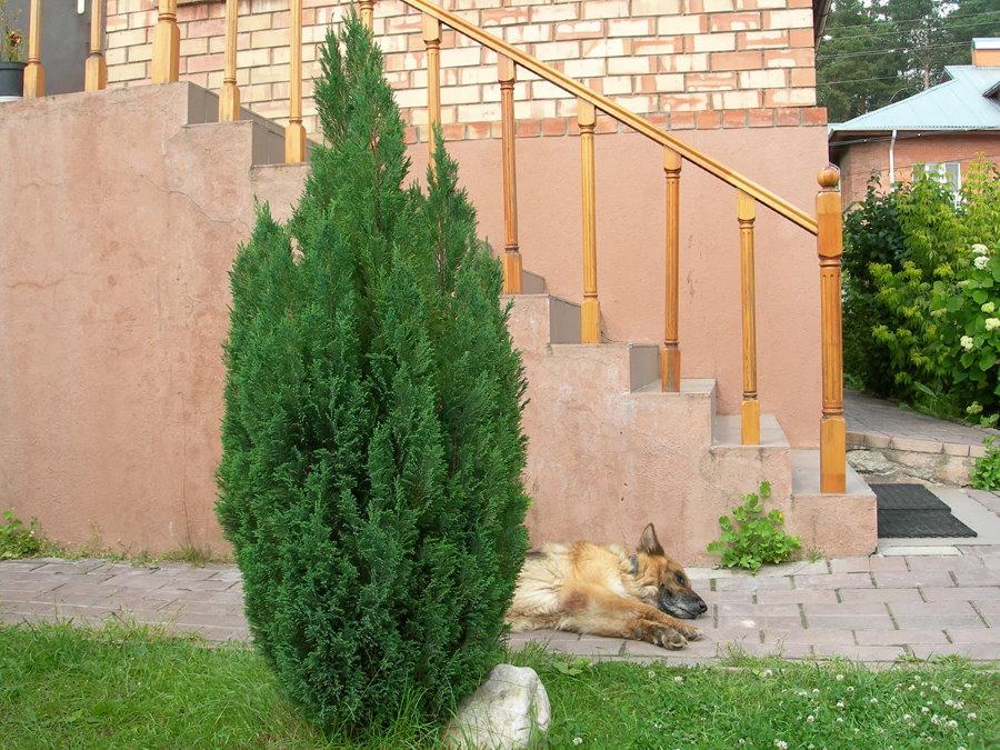 Восточноевропейская овчарка около зеленого кипариса