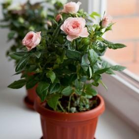 Пластиковый горшок с комнатными розами