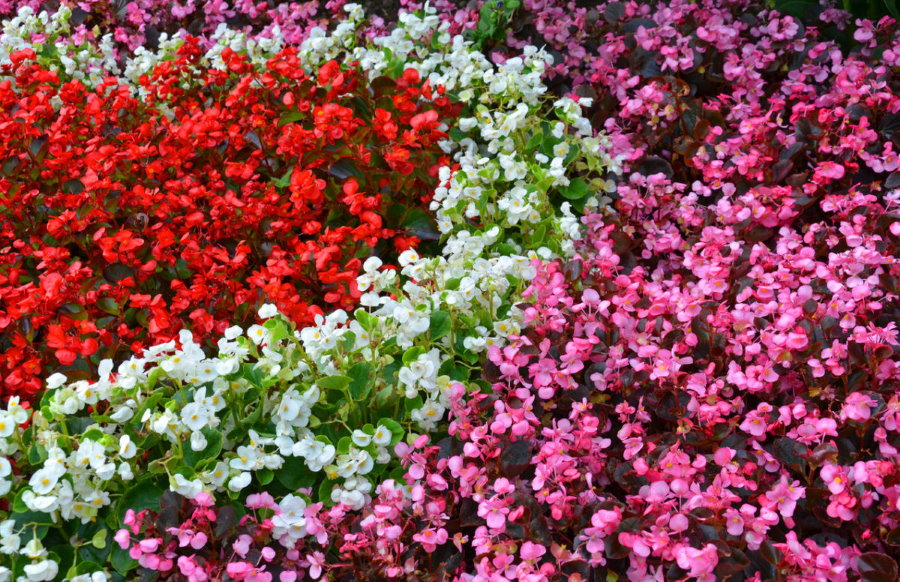 Различные сорта садовой бегонии на дачной клумбе
