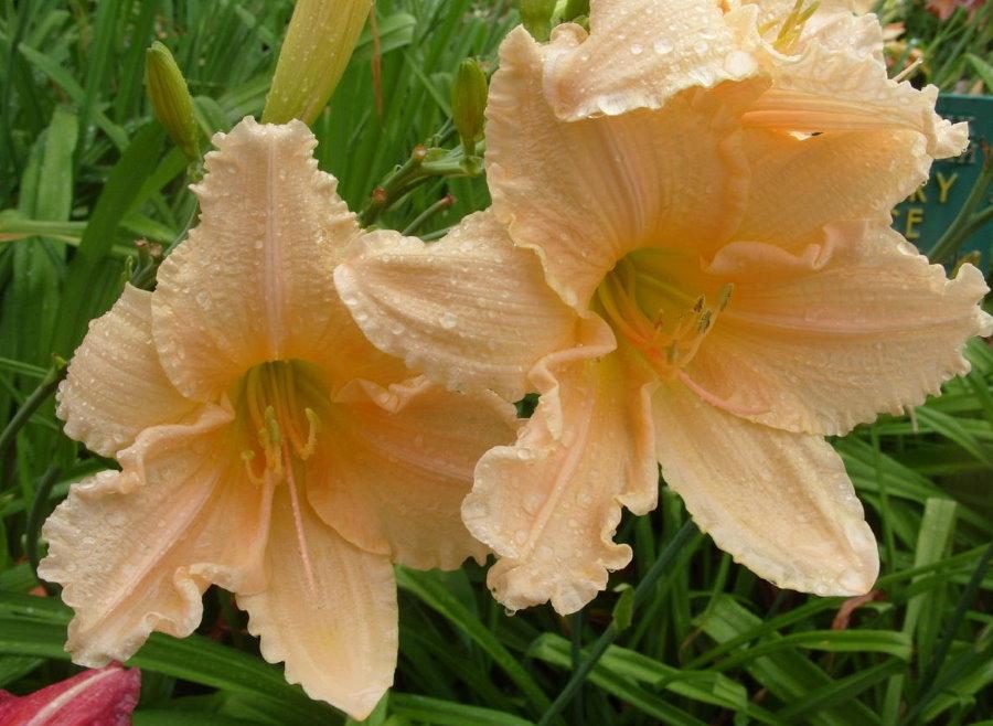 Кремовые цветки гибридного лилейника сорта Ангел Света
