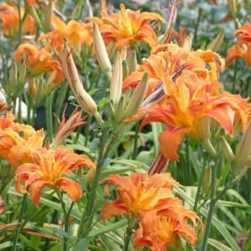 Цветение лилейника гибридного сорта Kwanzo