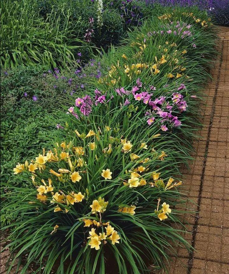 Разноцветные лилейники вдоль дорожки с покрытием