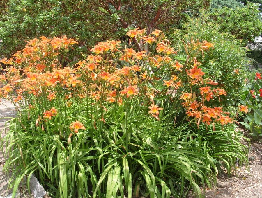 Разросшийся лилейник в период обильного цветения