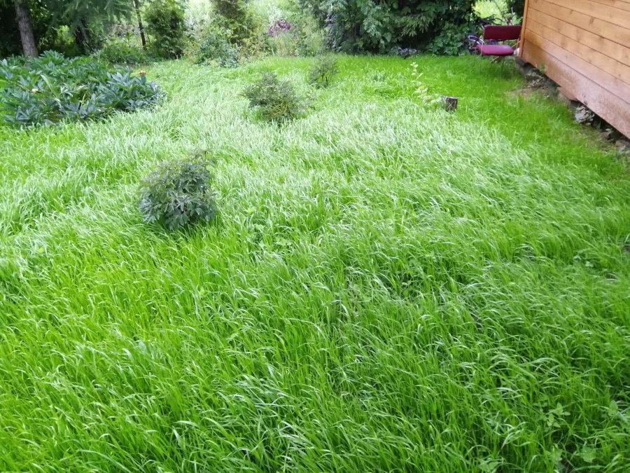 Луговой газон на дачном участке