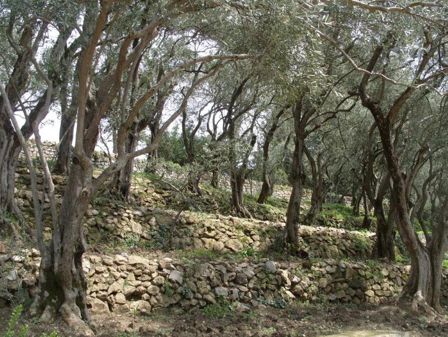 Старые деревья маслины на участке с рельефом