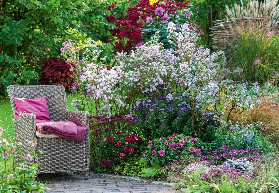 Мелкоцветковая астра сорта Прингла 'Pink Star около садового кресла