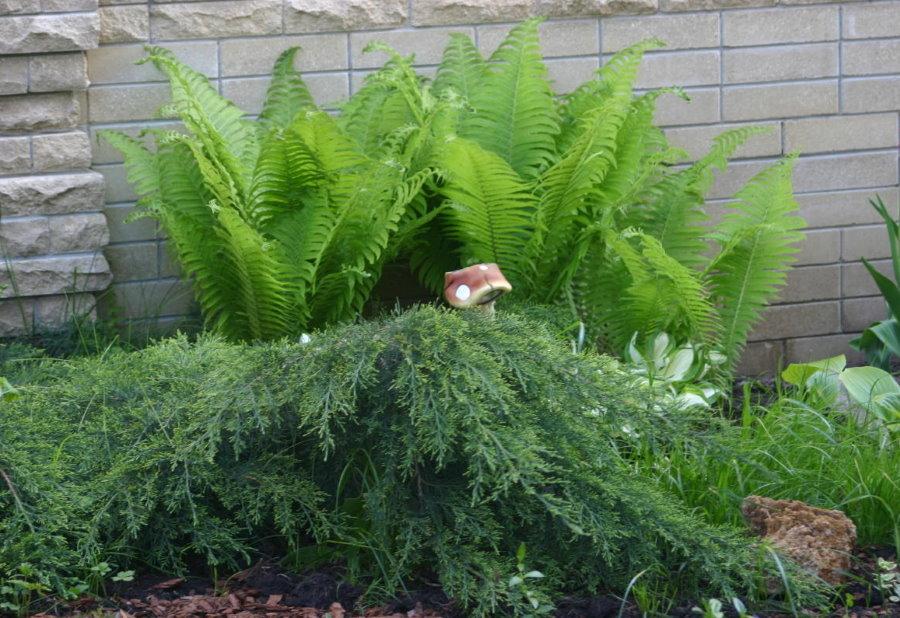 Вечнозеленый можжевельник на фоне садового папоротника