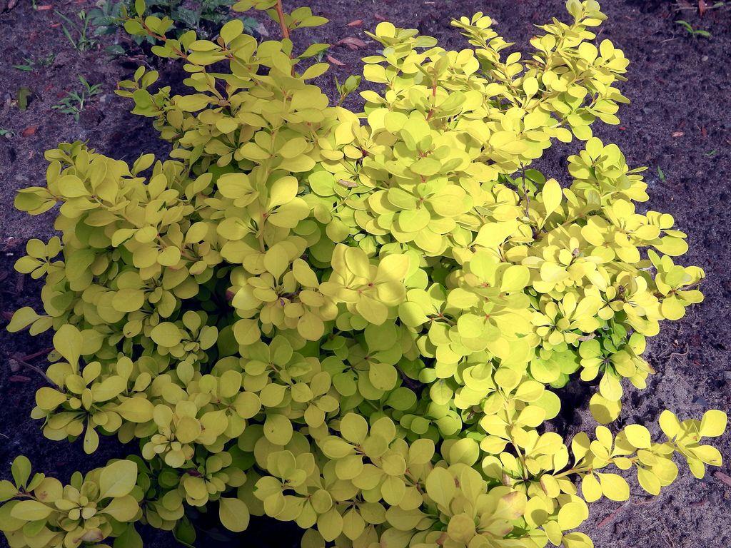 Низкий кустик барбариса с желто-зелеными листочками