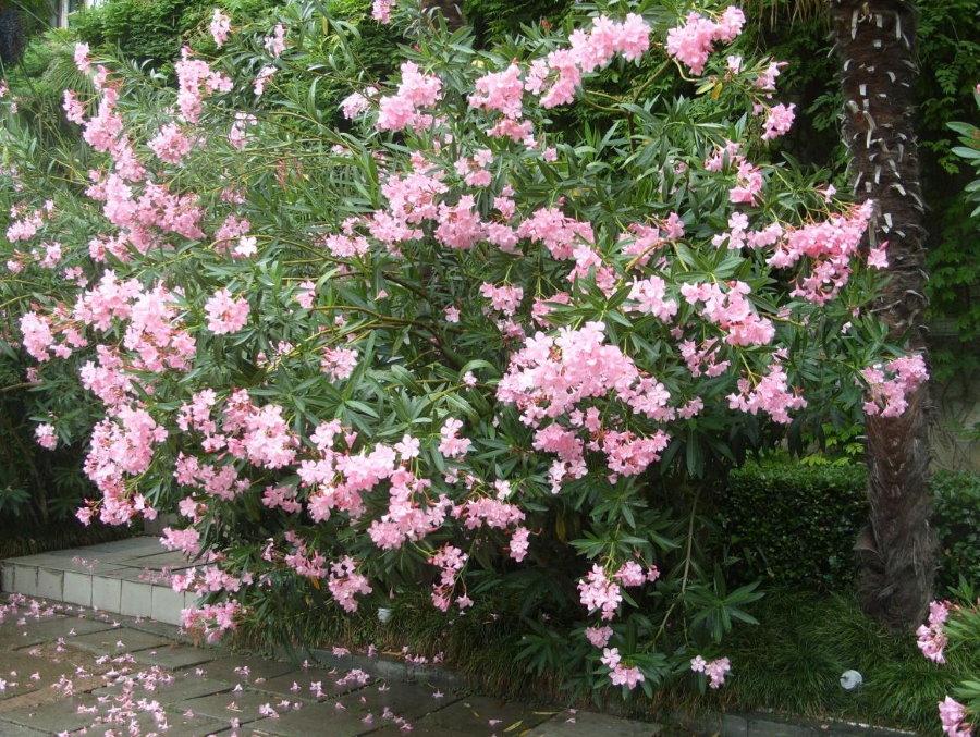 Цветение ядовитого олеандра в открытом грунте