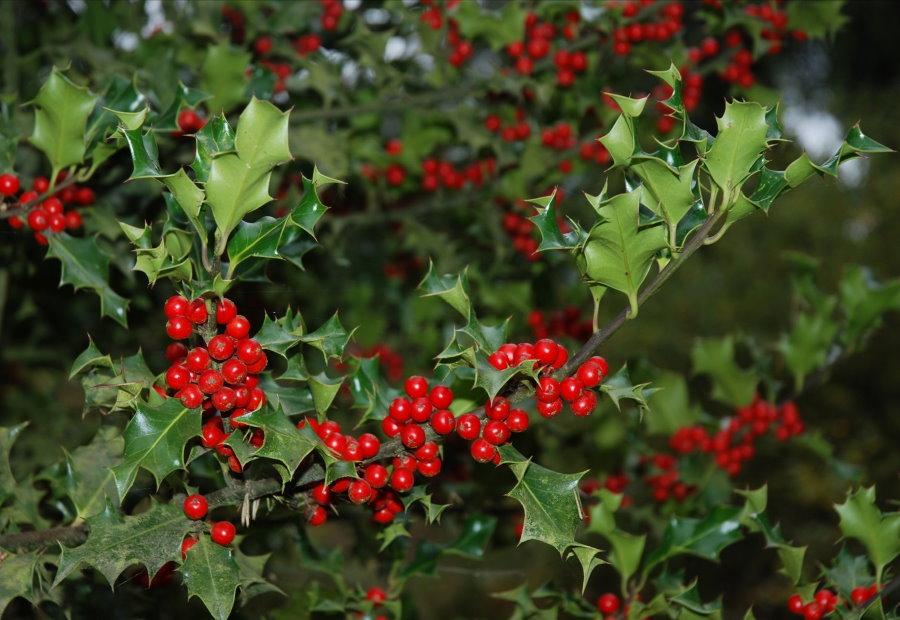 Ветка садового остролиста с красными ягодами