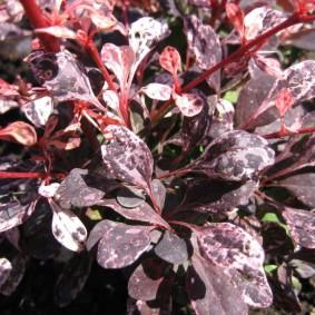 Пестрая окраска листьев на барбарисе сорта Harlequin