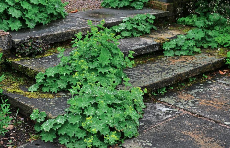 Ветвистый плющ на каменных ступеньках садовой лестницы