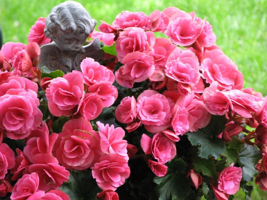 Розово-красные бутоны на кустике бегонии садовой