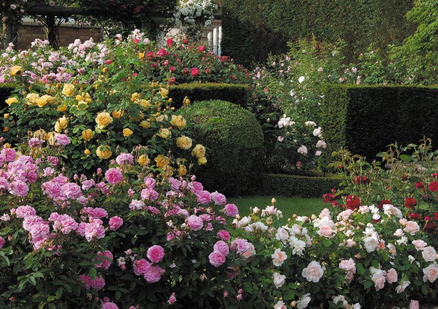 Кусты роз в саду с живой изгородью