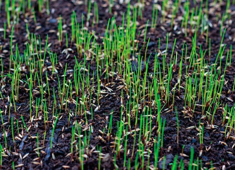 Всходы газонной травы на загородном участке
