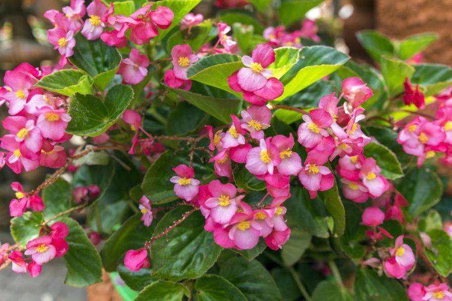 Нежно-розовые бутоны на вечноцветущей бегонии гибридного сорта