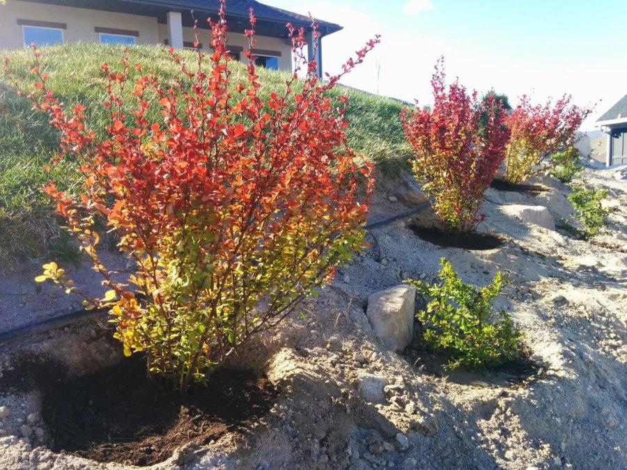 Высадка саженцев барбариса на склоне садового участка