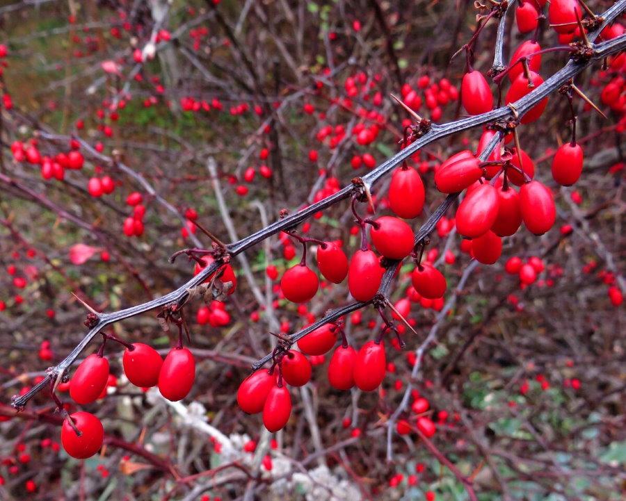 Красные плоды на ветках барбариса обыкновенного