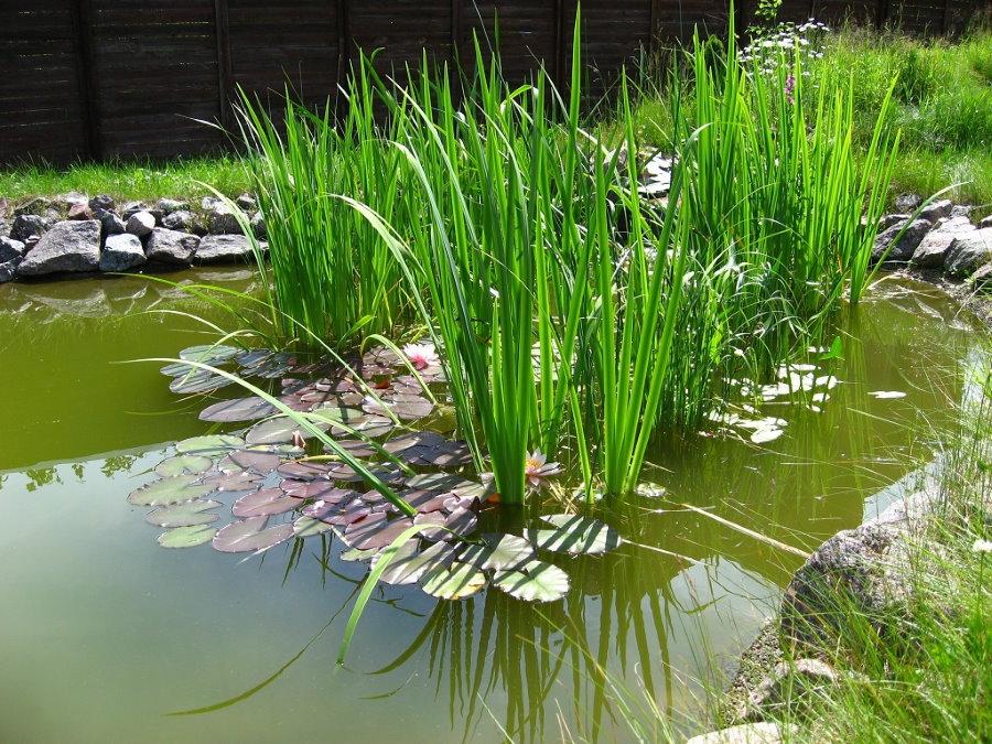 Длинные стебли болотного аира в садовом водоеме