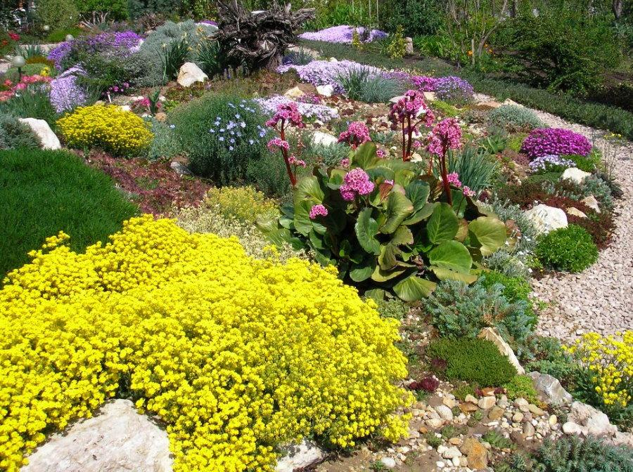 Желтые цветки на алиссуме скальном