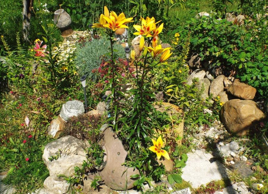 Желто-оранжевые лилии среди камней на альпинарии