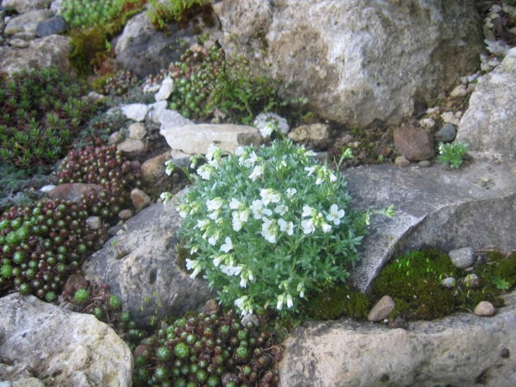 Цветение арабиса на альпийской горке