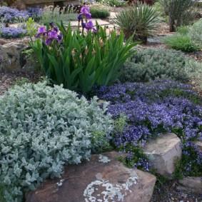 Сиреневые ирисы на садовом альпинарии