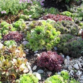 Камнеломки и другие растения на альпийской горке