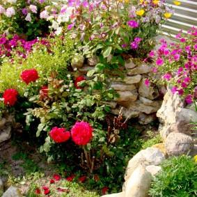 Кустик розы на альпинарии у забора