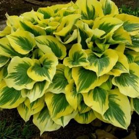 Желто-зеленая окраска листьев на садовой хосте