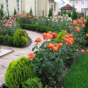 Кустики роз вдоль дорожки к дому