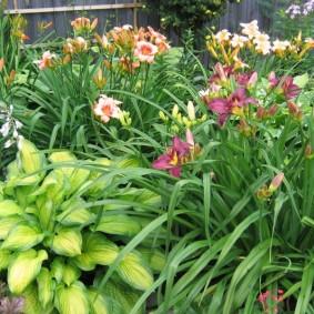 Садовые лилейники на клумбе с хостами