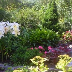 Белые лилии перед кустом хосты