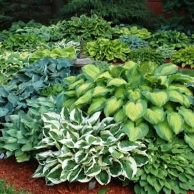 Садовая композиция из хост разного сорта