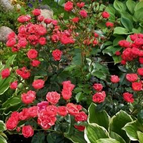 Красная роза на клумбе с зелеными хостами