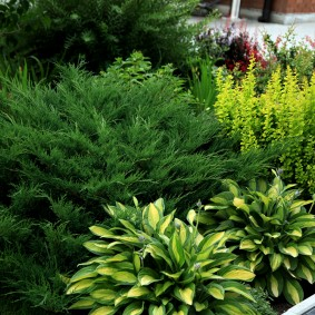 Садовая комбинация хвойных растений и хост