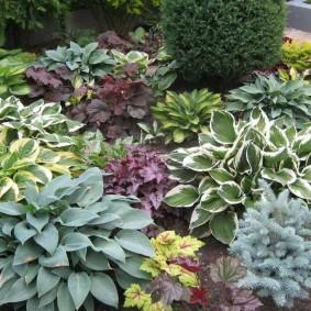 Коллекция разных хост на садовой клумбе