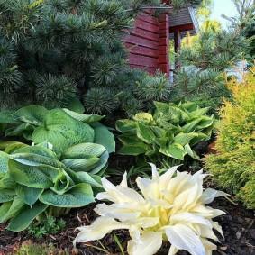 Светлая окраска листьев хосты в осенний период