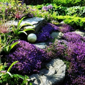 Лаванда в ландшафтном дизайне садового участка