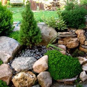 Канадская елка среди камней на клумбе