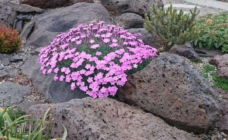 Гвоздики на каменистой клумбе в стиле альпийской горки