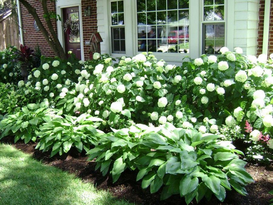 Многолетние хосты перед цветущими гортензиями