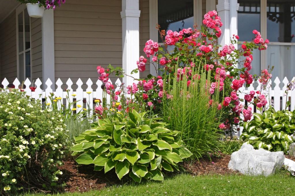 Куст хосты около красиво цветущей розы