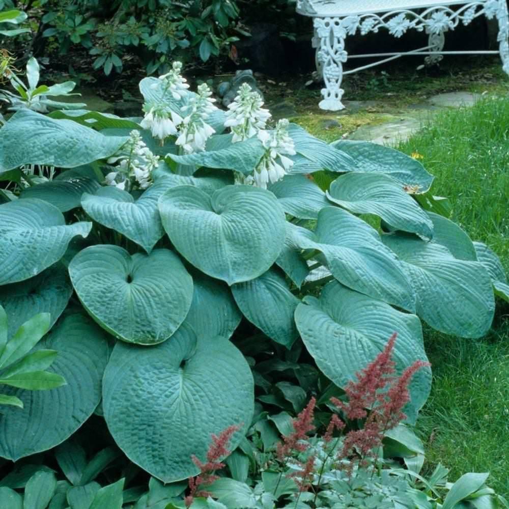 Крупные листья хосты популярного сорта Зибольда Элеганс