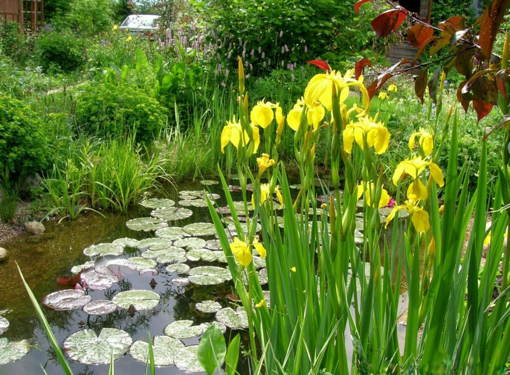 Желтые цветки на ирисе болотном в пруду
