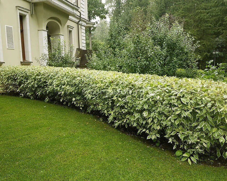 Живая изгородь из дерена с красивыми листьями