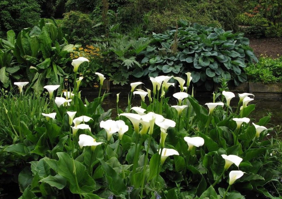 Белые цветы на стеблях болотной каллы