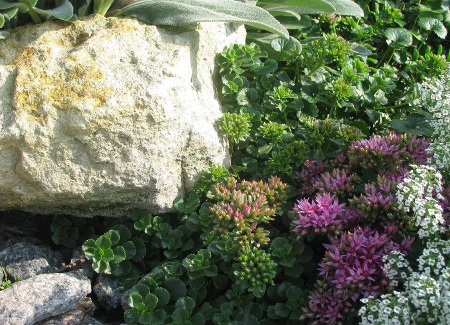 Камнеломка возле большого валуна на альпийской горке